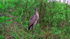 Great blue Heron Stock Footage