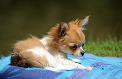 destroy puppy chihuahua - stock photo