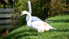 Swan - stock footage