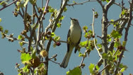 Stock Video Footage of Amid Nature - The Mockingbird Sings In the Sycamore Tree