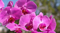 Pink orchid - stock footage