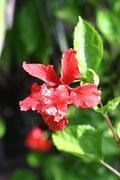 Stock Photo of Hibiscus