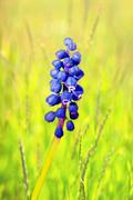 common grape hyacinth - stock photo