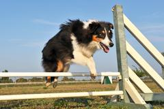 Shetland in agility Stock Photos