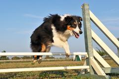 shetland in agility - stock photo