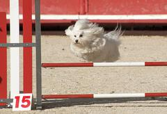 Maltese dog  in agility Stock Photos