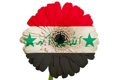 gerbera daisy flower in colors national flag of iraq   on white background as - stock illustration