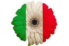 gerbera daisy flower in colors national flag of italy   on white background a - stock illustration