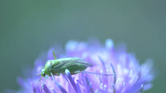 Little green bug at a pink flower Stock Footage