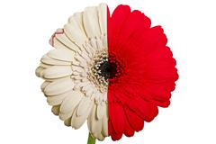 gerbera daisy flower in colors national flag of malta   on white background a - stock illustration