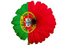gerbera daisy flower in colors national flag of portugal   on white backgroun - stock illustration