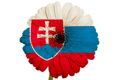 gerbera daisy flower in colors national flag of slovakiaon white background a - stock illustration