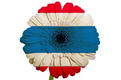 gerbera daisy flower in colors national flag of thailand   on white backgroun - stock illustration