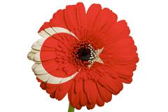 gerbera daisy flower in colors national flag of turkey   on white background  - stock illustration
