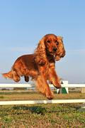 cocker spaniel in agility - stock photo