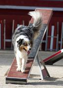 Australian shepherd in agility Stock Photos