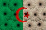 Stock Illustration of stylized  national flag of algeria    with gerbera flowers