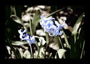 Stock Photo of Hyacinth flower in the garden