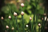 Stock Photo of Chive in the garden