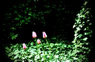 Stock Photo of Tulips in the garden