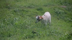 grazing goat - stock footage