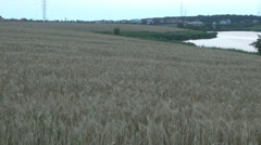 Culture of wheat.Cornfield,Organic plants.Sunset. Stock Footage