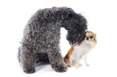 kerry blue terrier and chihuahua - stock photo
