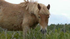 Assateague's Wild Horses 1 Stock Footage