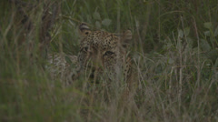 Jaguar in long grass Stock Footage