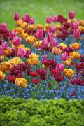 Bright Spring Flowers Colorful Pink Orange Magenta Tulips Ornamental Garden Stock Photos