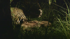 Jaguar with prey Stock Footage