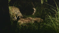 Stock Video Footage of Jaguar with prey