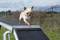 Chihuahua and agility Stock Photos