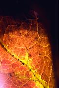 Stock Photo of bstract of a  yellow red  black brown leaf and his veins
