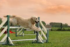 Golden retriever in agility Stock Photos