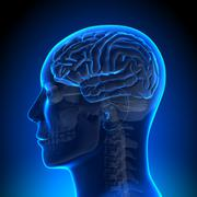 Brain Anatomy - Brain Blue Blank - stock photo