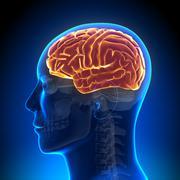Brain Anatomy - Brain full - stock photo
