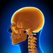 Brain Anatomy - Highlighted Skull - stock photo
