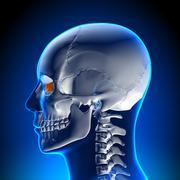 Brain Anatomy - Lacrimal - stock photo