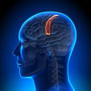 Brain Anatomy - Sensorimotor area - stock photo