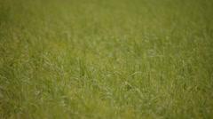 Fresh green field pan Stock Footage