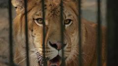 liger (tiger+lion) - stock footage