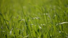Fresh green field pan closer Stock Footage