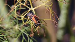 Ladybug Larva Stock Footage