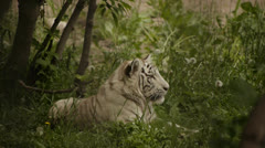 white tiger lying in the grass - stock footage