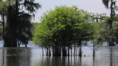 Young Cypress Trees Stock Footage