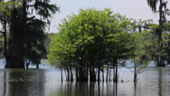 Stock Video Footage of Young Cypress Trees