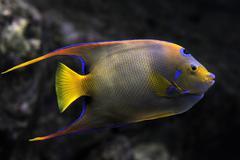 queen angelfish - stock photo