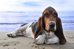 basset hound on a beach - stock photo