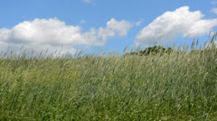 Meadow of grass blowing in the wind Stock Footage